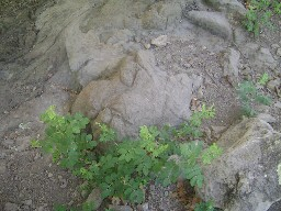 T-Rex tracks near Anasazi